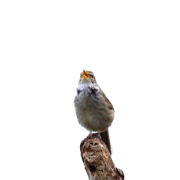 鳥撮り069 ウグイス