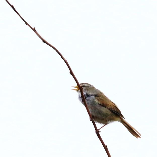 鳥撮り070 ウグイス