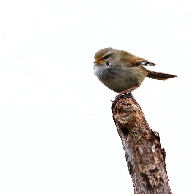 鳥撮り071 ウグイス