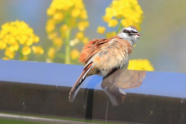 鳥撮り082 ホオジロ