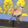 Photos: 鳥撮り082 ホオジロ