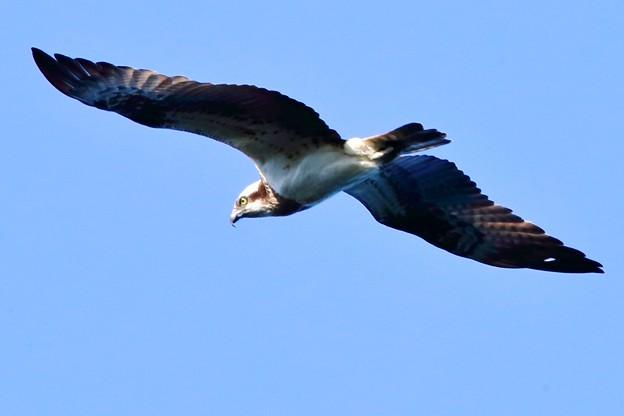 鳥撮り084 ミサゴ