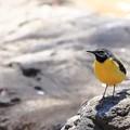 鳥撮り085 キセキレイ