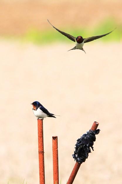 鳥撮り番外 ツバメ