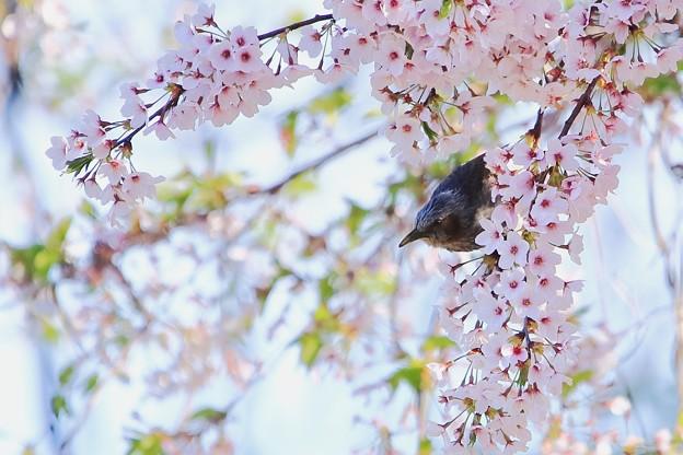 鳥撮り番外 ヒヨドリ