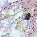 Photos: 鳥撮り番外 ヒヨドリ