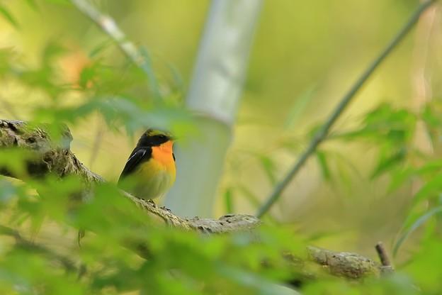 鳥撮り088 キビタキ