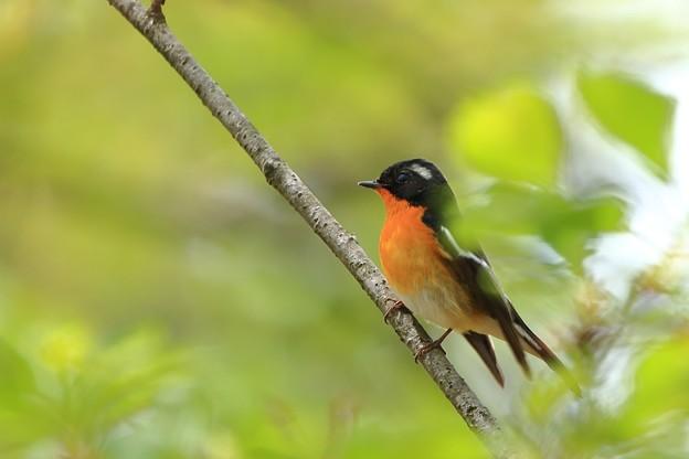鳥撮り089 ムギマキ
