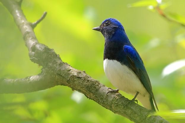 鳥撮り090 オオルリ