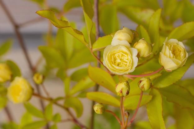 咲き始めたモッコウバラ