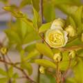 Photos: 咲き始めたモッコウバラ