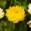 Photos: キラキラ黄色