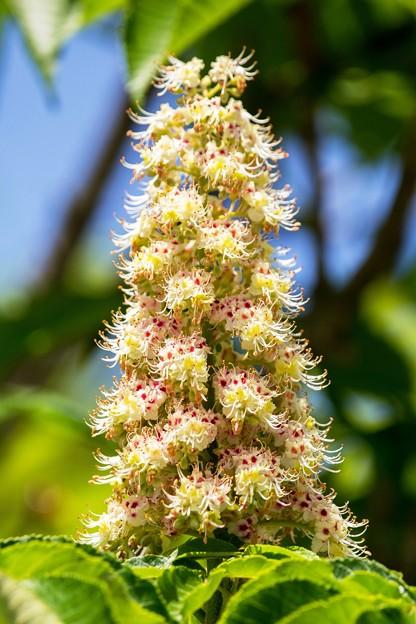 花の塔(トチノキ)