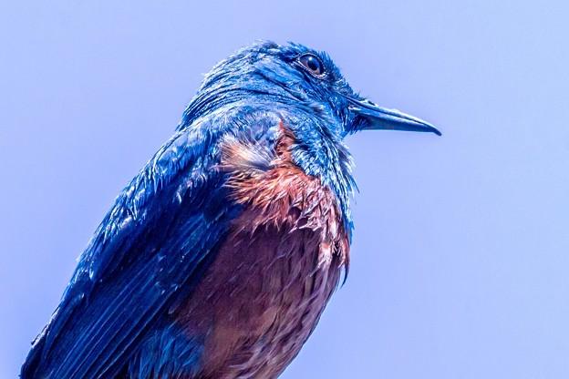 鳥撮り103 イソヒヨドリ