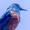 Photos: 鳥撮り103 イソヒヨドリ