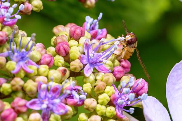 紫陽花に集う01