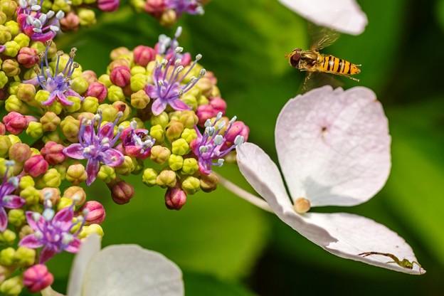 紫陽花に集う02