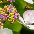 Photos: 紫陽花に集う02