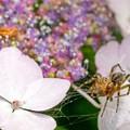 紫陽花に集う04