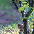 Photos: 鳥撮り104 モズ?