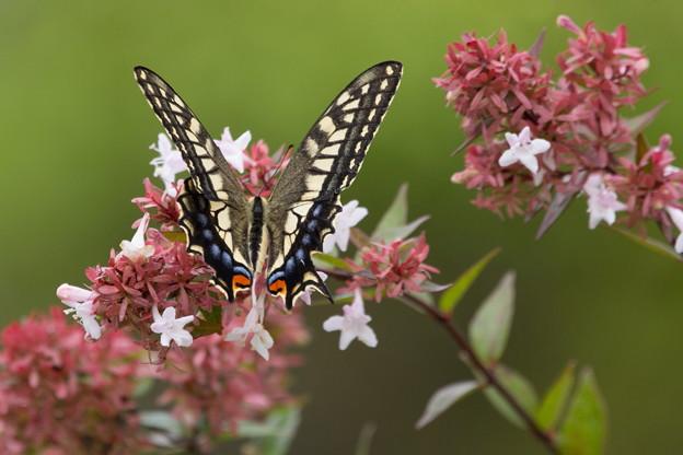 チョウ(鳥)撮れずチョウ(蝶)を撮る01