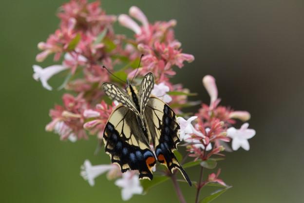 チョウ(鳥)撮れずチョウ(蝶)を撮る02
