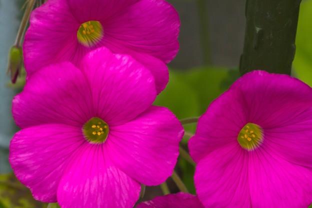 Photos: 玄関に咲く