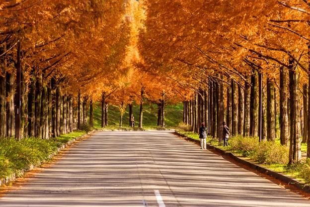 Photos: メタセコイア並木