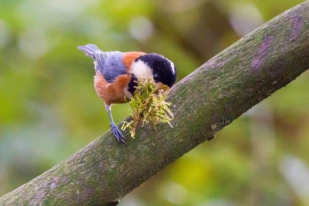 Photos: 巣作り
