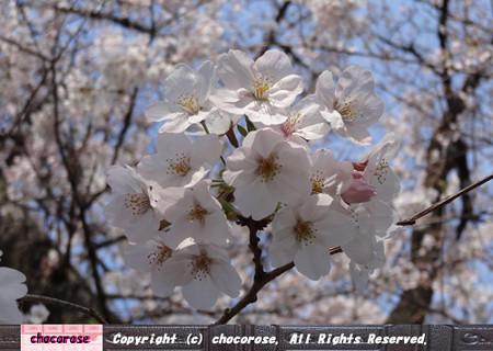 外濠公園の桜