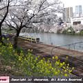 Photos: 桜と菜の花と電車1