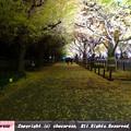 Photos: 明治神宮外苑いちょう並木の紅葉2018ーライトアップ4