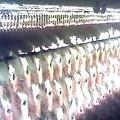 写真: 長岡市:稲荷大社神幸祭(よまつり)03