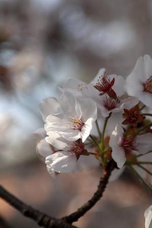 Sakura_1177