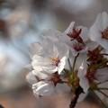 Photos: Sakura_1177