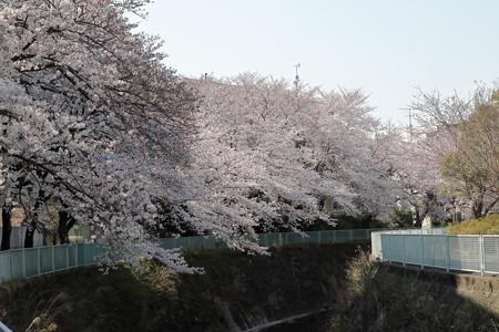 Sakura_1180