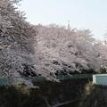 Photos: Sakura_1180