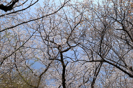 Sakura_1218
