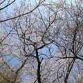 Photos: Sakura_1218