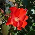 今日の薔薇