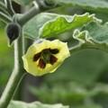 食用ホオズキの花