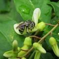 アオスジハナバチ