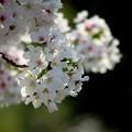 写真: 川べりの桜