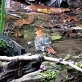 コマドリの水浴び