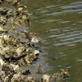 牡蠣礁のイソシギ