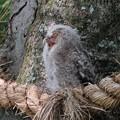 写真: 大けやきのフクロウ(1)