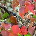 写真: 紅葉カワセミ