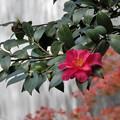 滝と山茶花