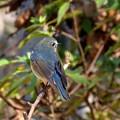 小鳥の森のルリビタキ