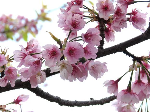 満開の大寒桜?